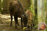 TNLL akui populasi anoa dan babi rusa makin berkurang