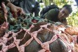 Satu individu Orangutan dewasa berada di dalam jaring saat diamankan di kebun warga di Desa Riam Berasap, Kabupaten Kayong Utara, Kalbar, Kamis (4/1). Tim gabungan dari IAR Indonesia, BKSDA Kalbar dan Balai Taman Nasional  Gunung Palung (TNGP) berhasil memindahkan satu individu Orangutan Kalimantan (Pongo pygmaeus) dari kebun warga di desa Riam Berasap, Kabupaten Kayong Utara, ke dalam kawasan TNGP Ketapang. ANTARA FOTO/HO/Heribertus-IAR Indonesia/jhw/17