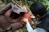 BKSDA temukan populasi bunga Raflesia di Sigantang