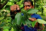 Sulsel target perluasan lahan lada 10.000 hektare