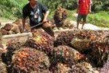 Sengketa Lahan di Tahura Sudah Inkracht, Pabrik Diminta Tak Beli lagi Hasil Sawitnya