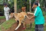 Vaksinasi ternak, Agam cegah merebaknya penyakit ngorok