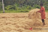 Padang Pariaman To Export 250 Tons of Coconut Fiber a Month