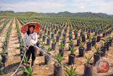 Replanting sawit 500 hektare di Solok Selatan, ini sasarannya