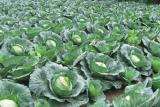 Dinas Pertanian Barut ujicoba kembangkan tanaman kubis