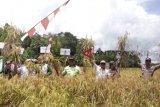 Hasil panen padi di Patangkep Tutui Bartim memuaskan petani