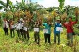 Dinas Pertanian Bartim Dukung Upsus Pajale