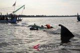 Petugas gabungan selamatkan ikan paus yang terdampar di pantai Situbondo