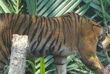 Teror Harimau Bonita, SD di Pelangiran Inhil ini Sudah 2 Bulan Diliburkan