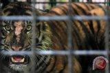 Seekor Harimau Sumatera (Panthera tigris), berada dalam kerangkeng perangkap Balai Konservasi Sumber Daya Alam (BKSDA) Sumatera barat, di kawasan hutan Palupuh, Kabupaten Agam, Sumatera Barat, Selasa (17/4/2018). Balai Konservasi Sumber Daya Alam menitipkan sementara harimau yang tertangkap pada Sabtu (14/5/2018) itu, ke Pusat Rehabilitasi dan Konservasi Harimau Sumatera di Kabupaten Damasraya. (ANTARA FOTO/Muhammad Arif Pribadi)