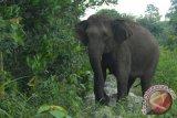 32 gajah liar rusak belasan hektare kebun warga