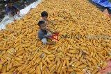 KTNA Sumbar tanami sawah kering dengan jagung