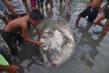 Warga mengamati ikan mola mola yang mati terdampar di Pantai Teluk Palu, Kelurahan Lere, Palu, Sulawesi Tengah, Selasa (24/4). Ikan dengan panjang lebih dari dua meter itu ditemukan nelayan dalam kondisi hidup, namun pada akhirnya mati setelah terjebak beberapa jam di perairan dangkal. Peristiwa terdamparnya ikan tersebut merupakan yang kesekian kali terjadi dalam tiga tahun terakhir. ANTARA FOTO/Mohamad Hamzah/kye/18.