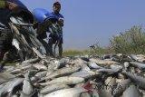 Petambak memanen ikan bandeng di areal tambak desa Karangsong, Indramayu, Jawa Barat, Jumat (4/5). Badan Pusat Statistik (BPS) mencatat nilai ekspor perikanan budidaya Indonesia meningkat sebesar 64,8 juta dolar AS pada periode Januari-Maret 2018 atau naik 65,76 persen dari periode yang sama di tahun 2017 sebesar 38,49 juta dolar AS. ANTARA JABAR/Dedhez Anggara/agr/18.