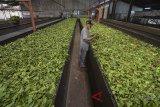 Pekerja mengolah teh hitam di Pabrik Pengolahan PT Perkebunan Nusantara (PTPN) VIII di Sukawana, Kabupaten Bandung Barat, Jawa Barat, Jumat (11/5). PTPN VIII menargetkan produksi teh hitam pada tahun ini sebesar 5 hingga 7 ton perhari dan penjualan sebanyak Rp 300 juta per bulan serta nilai investasi sebesar Rp 5 miliar. ANTARA JABAR/Raisan Al Farisi/agr/18