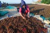 Rumput laut harta karun sektor kelautan nasional