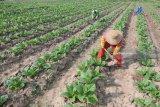 Petani menggemburkan tanaman tembakau usia satu bulan di Desa Dasok, Pamekasan, Jawa Timur, Sabtu (9/6). Produksi tembakau Madura dengan kondisi cuaca normal per tahun mencapai sekitar 60.000 ton dari luas lahan sekitar 65 ribu hektar atau 60 persen dari jumlah total produksi tembakau Jatim. Antara Jatim/Saiful Bahri/zk/18
