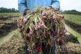 Tanaman bawang merah Srikayangan terserang hama ulat