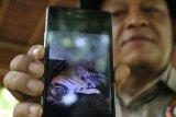 Medan (Antaranews Sumut) Dokter hewan Taman Margasatwa Medan, menunjukan foto induk Harimau Benggala (Panthera tigris-tigris) menyusui anaknya yang baru lahir, saat memberi keterangan kepada wartawan, di Medan, Sumatera Utara, Rabu (25/7). Harimau Benggala koleksi Taman Margasatwa Medan pada Kamis, 12 Juli 2018 melahirkan dua ekor anak. Irsan