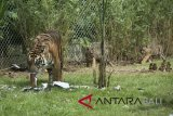 Seekor Harimau Sumatera (Phantera Tigris Sumatrae) bernama Sean bersama dua dari tiga anaknya yang berumur sekitar dua bulan saat mulai dilatih naluri berburunya di Bali Zoo, Gianyar, Bali, Sabtu (28/7). Pengembangbiakan dua induk Harimau Sumatera di lembaga konservasi itu berhasil melahirkan tiga ekor anak  harimau yaitu merupakan hasil pengembangan pertama kali di Bali. Antaranews/Nyoman Budhiana/18.