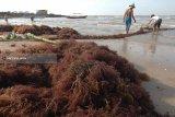 Petani khawatirkan penyakit mengancam rumput laut