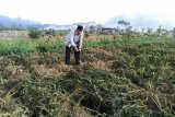 Akibat embun upas, petani kentang Dieng merugi
