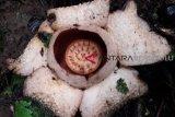 Raflesia berwarna putih mekar di hutan Bengkulu