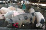 Populasi ternak babi di NTT 2.073.446 ekor
