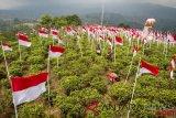 Warga melintasi deretan bendera merah putih yang dipasang di kebun teh Kemuning, Karanganyar, Jawa Tengah, Minggu (12/8/2018). Sebanyak 17 bendera berukuran sedang, 8 bendera besar dan 1.945 bendera berukuran kecil dipasang warga setempat untuk menyambut HUT ke-73 Kemerdekaan Republik Indonesia sekaligus upaya menarik kunjungan wisata. (ANTARA FOTO/Mohammad Ayudha)