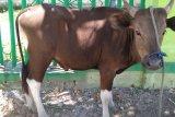 DPTP Biak Numfor sebar 15 petugas pemeriksa hewan kurban