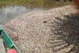 Penyebab kematian ikan Sungai Seranau belum diketahui