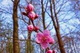 Gubernur Tokyo meminta warga nikmati keindahan sakura tahun depan saja