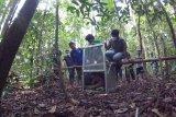 Satu individu Orangutan (Pongo pygmaeus) betina, Bunga keluar dari kandang saat dilepasliarkan di hutan Lindung Gunung Tarak, Kabupaten Ketapang, Kalimantan Barat, Rabu (26/9). IAR Indonesia bersama BKSDA Kalbar dan Dinas Kehutanan Kalbar melepasliarkan Bunga yang sebelumnya telah menjalani rehabilitasi di Pusat Penyelamatan dan Rehabilitasi IAR Indonesia. ANTARA FOTO/HO/Rudiansyah-IAR Indonesia/jhw/18