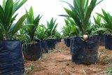 China tertarik danai program peremajaan sawit di Indonesia