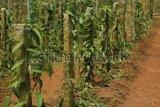 Bea Cukai: Wilayah perbatasan RI-PNG rawan penyelundupan vanili dan ganja