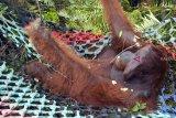 Satu individu Orangutan dievakuasi dari kebun warga di Desa Sungai Awan Kiri, Kecamatan Muara Pawan, Kabupaten Ketapang, Kalbar, Jumat (26/10/2018). Tim gabungan dari IAR Indonesia, Balai Taman Nasional Gunung Palung (BTNGP) dan Balai Konservasi Sumber Daya Alam (BKSDA) Kalbar Seksi Konservasi Wilayah (SKW) I Ketapang memindahkan satu individu Orangutan Kalimantan (Pongo pygmaeus) bernama Nayo (20 tahun) seberat 60 Kilogram yang dievakuasi dari kebun warga di Desa Sungai Awan Kiri ke kawasan TNGP Ketapang. ANTARA FOTO/HO/Heribertus-IAR Indonesia/jhw