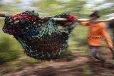 Anggota tim penyelamat  mengevakuasi satu individu Orangutan dari kebun warga di Desa Sungai Awan Kiri, Kecamatan Muara Pawan, Kabupaten Ketapang, Kalbar, Jumat (26/10/2018). Tim gabungan dari IAR Indonesia, Balai Taman Nasional Gunung Palung (BTNGP) dan Balai Konservasi Sumber Daya Alam (BKSDA) Kalbar Seksi Konservasi Wilayah (SKW) I Ketapang memindahkan satu individu Orangutan Kalimantan (Pongo pygmaeus) bernama Nayo (20 tahun) seberat 60 Kilogram yang dievakuasi dari kebun warga di Desa Sungai Awan Kiri ke kawasan TNGP Ketapang. ANTARA FOTO/HO/Heribertus-IAR Indonesia/jhw