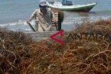 Lembaga PBB latih warga Nunukan olah rumput laut