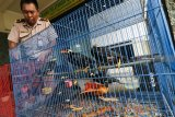 Petugas menata sejumlah sangkar berisi burung saat ungkap kasus penyelundupan burung di Unit Pelayanan II Balai Besar Karantina Pertanian Surabaya Jalan Kalimas Baru, Surabaya, Jawa Timur, Kamis (8/11/2018). Balai Besar Karantina Pertanian Surabaya menggagalkan penyelundupan 293 ekor Cucak Hijau, 124 ekor Murai Batu dan 64 ekor Beo yang diangkut dalam truk bermuatan kayu dengan menumpang KM Perindo I dari Balikpapan menuju Surabaya. Antara Jatim/Didik Suhartono/ZK.