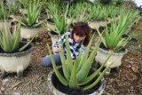 Seorang pengunjung melihat ketebalan tanaman Lidah Buaya di kebun Aloe Vera Center Pontianak, Kalbar, Senin (12/11/2018). Tanaman Lidah Buaya (Aloe Vera) yang dapat diolah menjadi makanan, minuman, kosmetik serta obat-obatan tersebut, merupakan tanaman khas Pontianak dan menjadi salah satu komoditi unggulan Kalbar. ANTARA FOTO/Jessica Helena Wuysang/18