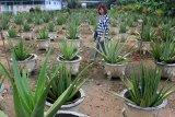 Seorang pengunjung berjalan di antara tanaman Lidah Buaya di kebun Aloe Vera Center Pontianak, Kalbar, Senin (12/11/2018). Tanaman Lidah Buaya (Aloe Vera) yang dapat diolah menjadi makanan, minuman, kosmetik serta obat-obatan tersebut, merupakan tanaman khas Pontianak dan menjadi salah satu komoditi unggulan Kalbar. ANTARA FOTO/Jessica Helena Wuysang/18