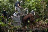 Sejumlah anggota tim penyelamat membuka kandang berisi satu individu Orangutan yang dievakuasi dari kebun warga saat ditranslokasi di Kabupaten Ketapang, Kalbar, Jumat (26/10/2018). Tim gabungan dari IAR Indonesia, Balai Taman Nasional Gunung Palung (BTNGP) dan Balai Konservasi Sumber Daya Alam (BKSDA) Kalbar Seksi Konservasi Wilayah (SKW) I Ketapang memindahkan satu individu Orangutan Kalimantan (Pongo pygmaeus) bernama Nayo (20 tahun) seberat 60 Kilogram yang dievakuasi dari kebun warga di Desa Sungai Awan Kiri ke kawasan TNGP Ketapang. ANTARA FOTO/HO/Heribertus-IAR Indonesia/jhw