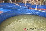 Dinilai rumit, sistem bioflok kurang dimintai pembudidaya ikan