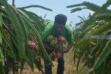 Pekerja memanen buah naga di Desa Sumberasri, Purwoharjo, Banyuwangi, Jawa Timur, Sabtu (22/12/2018). Buah naga tersebut dipasarkan ke Semarang, Solo, dan Jakarta dengan harga Rp5.500 per kg di tingkat petani. Antara Jatim/Seno/ZK.