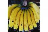 Bengkulu intensifkan budi daya pisang lokal