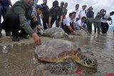 Puluhan penyu terbawa tsunami dilepasliarkan lagi