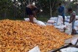 Barut kaji kelayakan pengembangan sentra industri pengolahan jagung