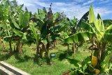 Plasma Pisang Yogyakarta tingkatkan target produksi kultur jaringan