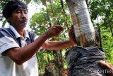 Petani menyambung bibit durian kualitas unggul dengan pokok pohon durian lokal yang telah dipotong menggunakan teknik Top Working di Kampung Cisimeut, Leuwidamar, Lebak, Banten, Selasa (29/1/2019). Cara tersebut digunakan untuk memperbaiki kualitas buah durian yang kelak dihasilkan supaya bisa lebih baik dan lebih banyak sesuai kualitas bibit unggul dengan tetap memanfaatkan batang pohon durian lokal yang sudah besar agar bisa lebih cepat dipanen. ANTARA FOTO/Muhammad Bagus Khoirunas/af.