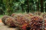 Harga sawit Riau turun menjadi Rp1.357,66 per kg